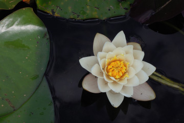 A photo of a lotus representing mindfulness